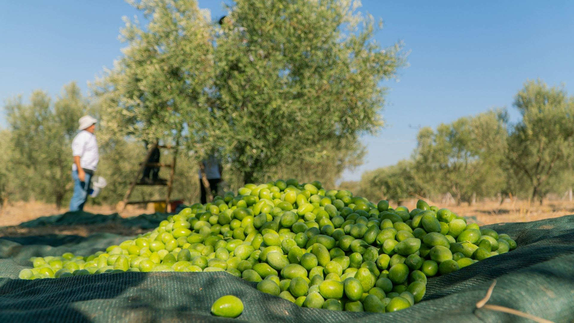 Olive Cultivation in Turkey and The Latest News of Olive