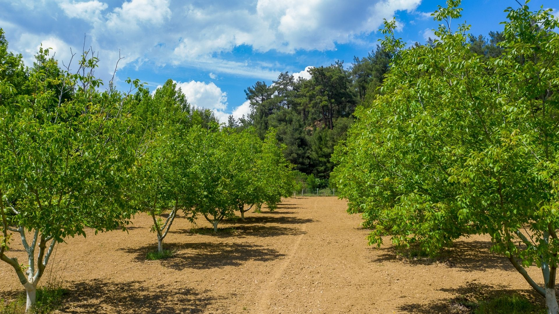 Walnut Trees Investment in 2021